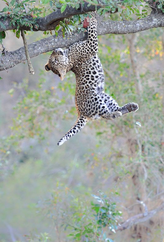 Cheetah learning to climb a tree
